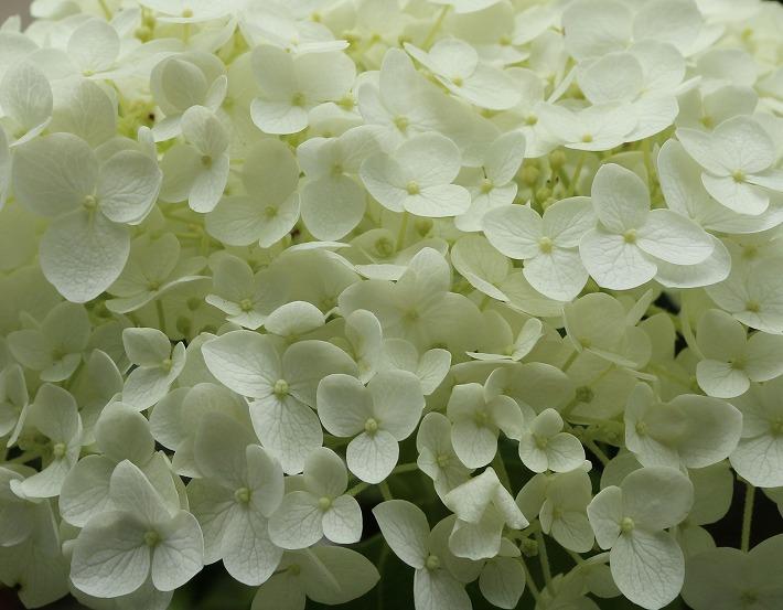 小さな花が沢山集まったアナベル 30 6 19