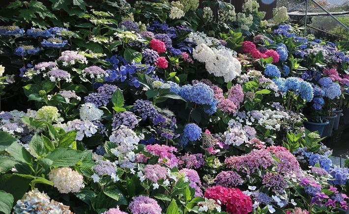 紫陽花の花並んで 30 6 23