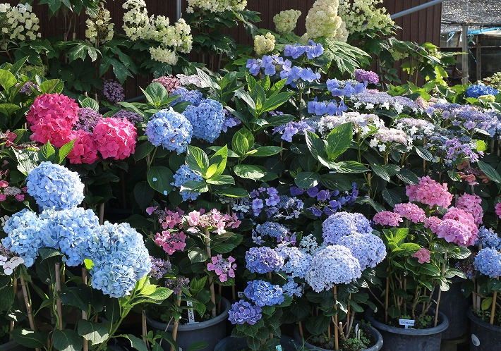 紫陽花の花いろいろ 30 6 23