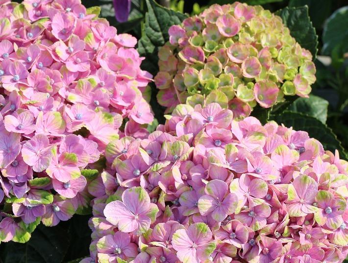 不思議な色合わせの紫陽花 30 6 21