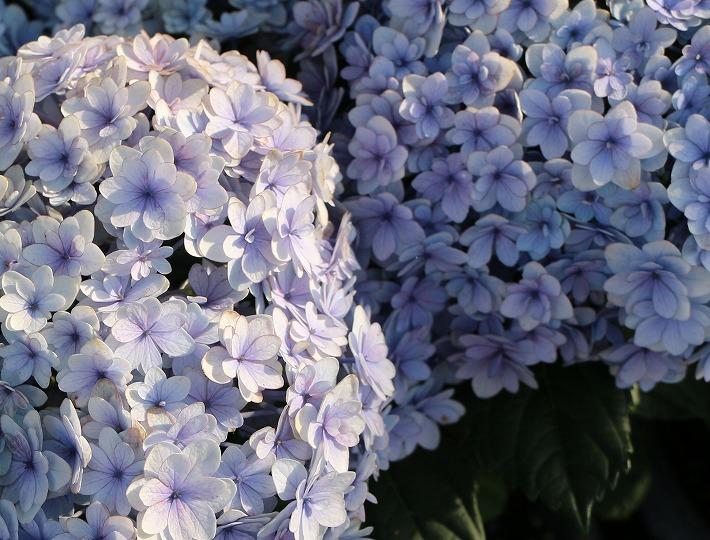 青い紫陽花花びらがステキ 30 6 21