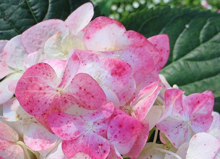 花びらに赤い点々がある紫陽花 30 6 21