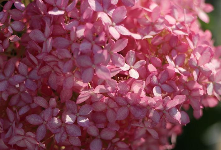 大きな花の紫陽花 きれい 30 6 21