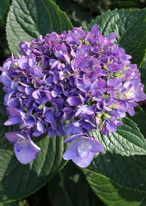 青紫の大きい花 紫陽花 30 6 21
