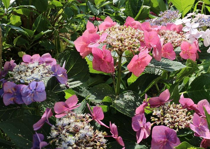 虹色のような紫陽花 30 6 21