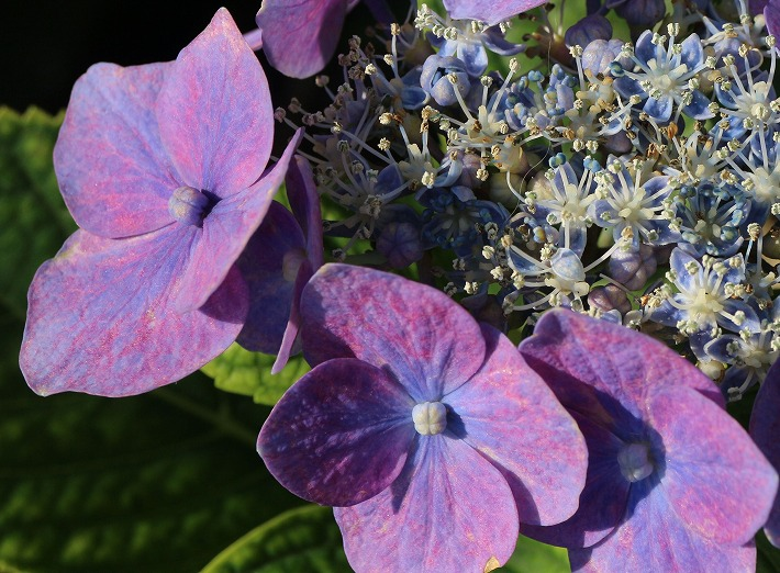 豪華な花のガク紫陽花青紫 30 6 21