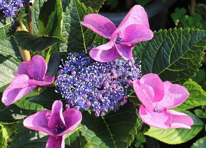 豪華ながく紫陽花 桃色系 30 6 21