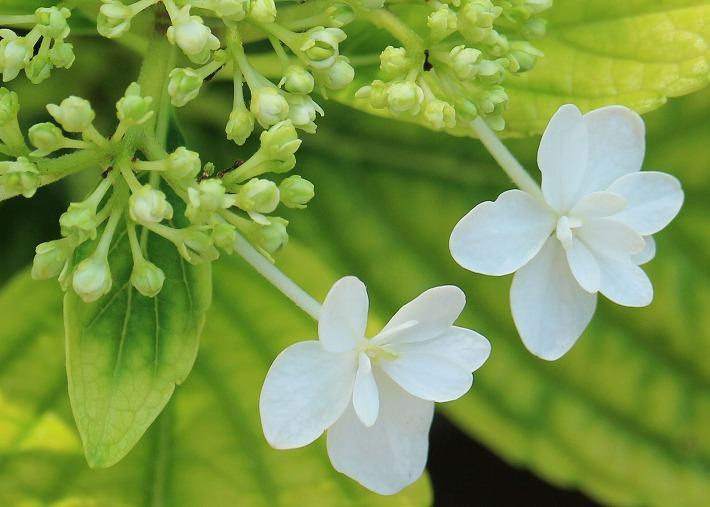 白色のガク紫陽花 30 6 21