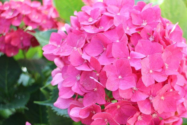 濃い桃色紫陽花 30 6 21
