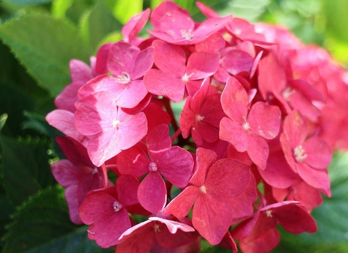 色の濃い桃色の紫陽花 30 6 21