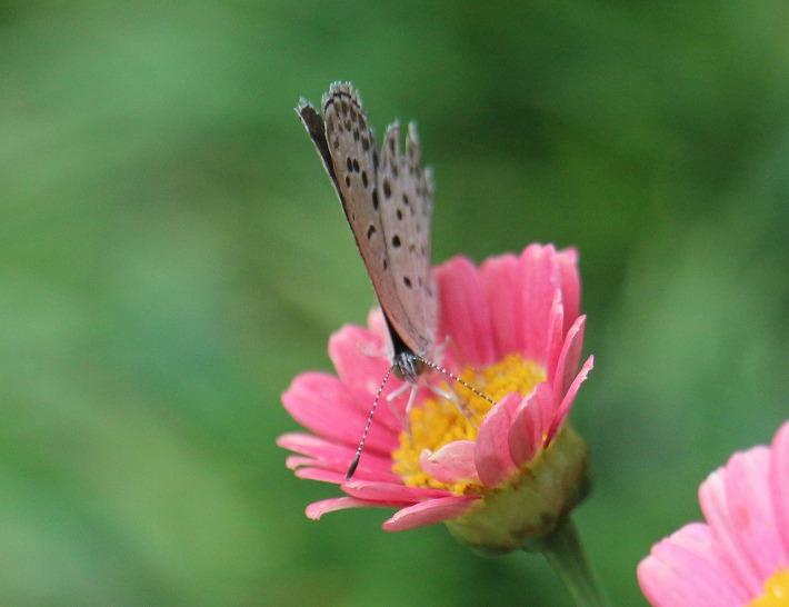 シジミ蝶こっち向き 30 6 24