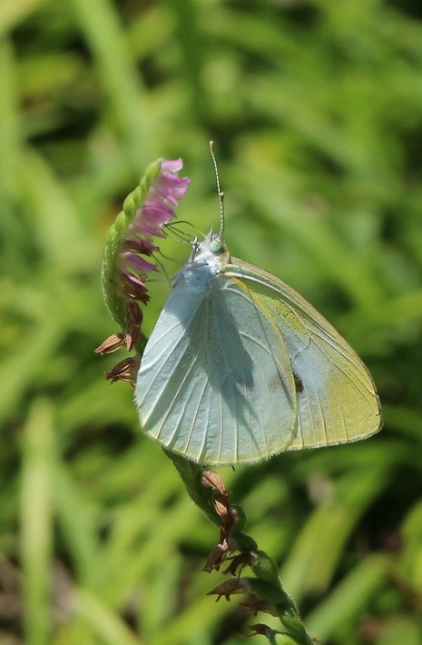 ネジバナに紋白蝶 30 7 4