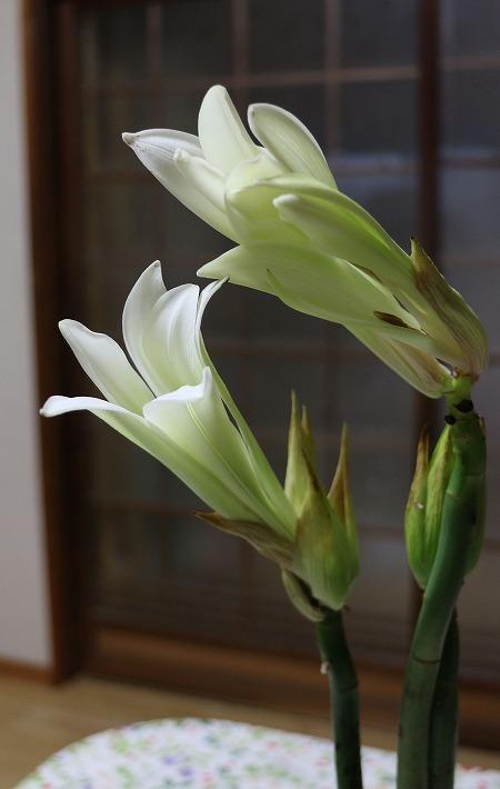 ウバユリの花 咲き始め 縦 30 7 10