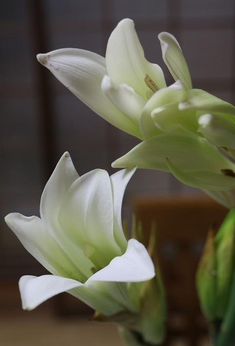 花瓶で咲いた姥ユリの花 縦 30 7 10