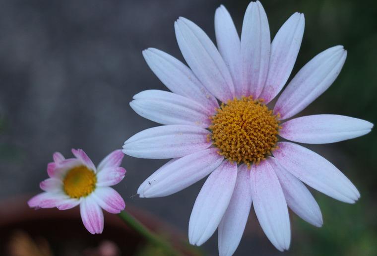 去年の母の日の花が今年も咲く 30 7 31