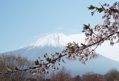 田貫湖桜富士-8
