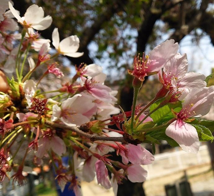 180404葉桜
