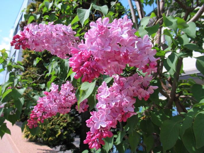 180501紫陽花 (1)