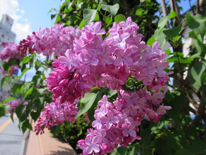 180501紫陽花 (2)