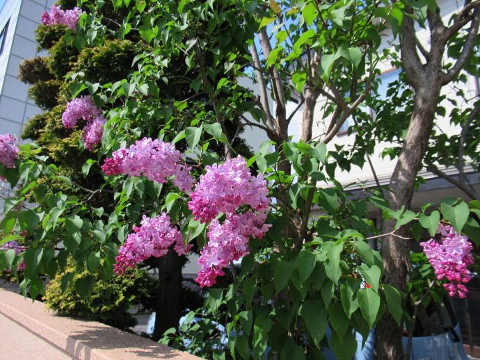 180501紫陽花 (3)