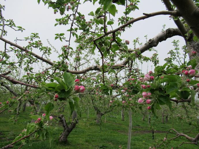 180501リンゴ (3)