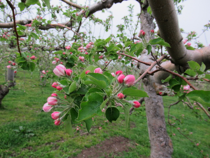 180501リンゴ (2)
