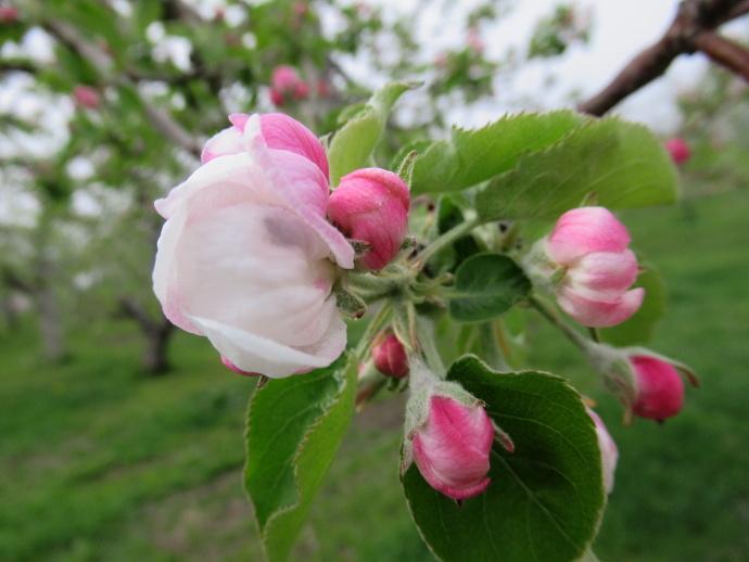 180501リンゴ (4)