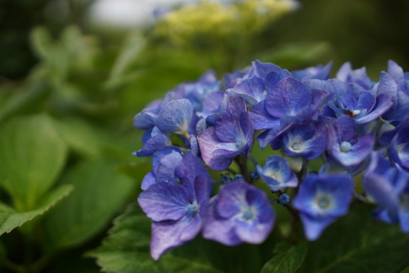 5紫陽花 (1200x800)