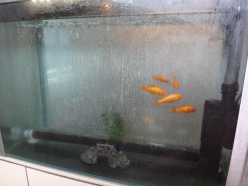 金魚???