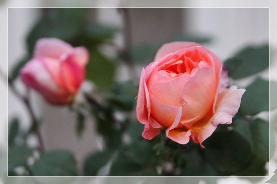 s-180506レディ・エマ・ハミルトンIMG_3607