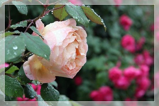 s-1805013レディ・エマ・ハミルトンIMG_3901