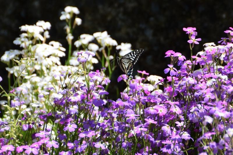 花と蝶DSC_0127