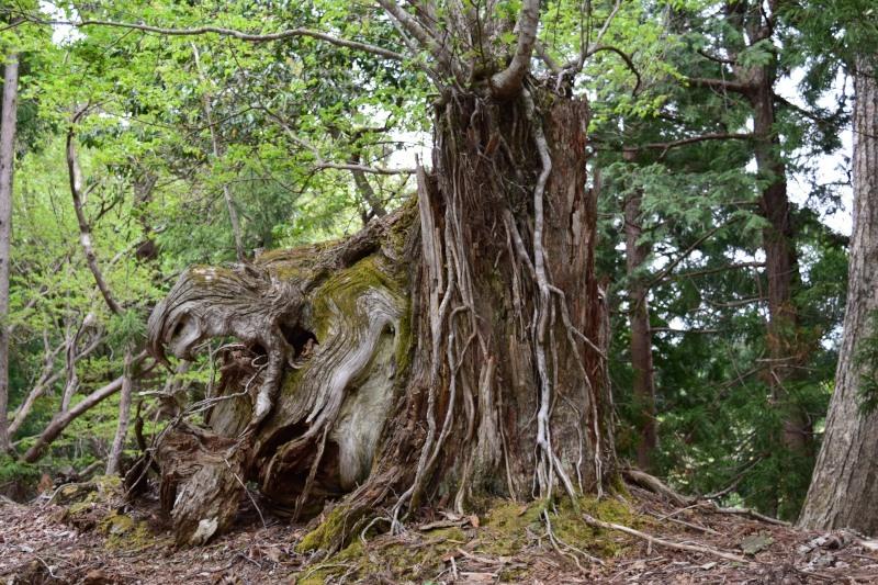 大きな杉DSC_0523