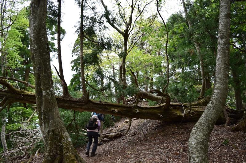 倒れた杉くぐるDSC_0532