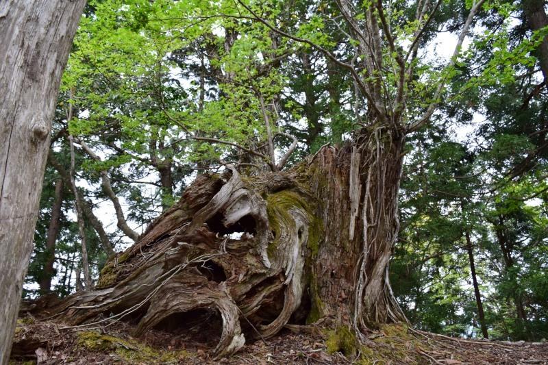 大きな杉DSC_0524