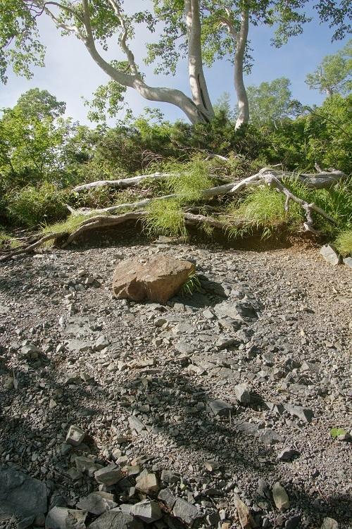 06 八方尾根・ダケカンバ林と黒い砂礫
