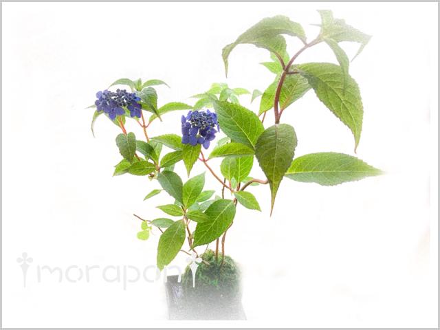 180606 藍姫-1