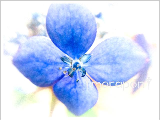 180623 山紫陽花(藍姫)