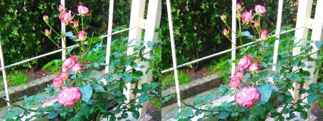 中之島公園 バラ園 桃色⑤(交差法)