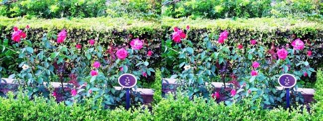 中之島公園 バラ園 桃色④(平行法)