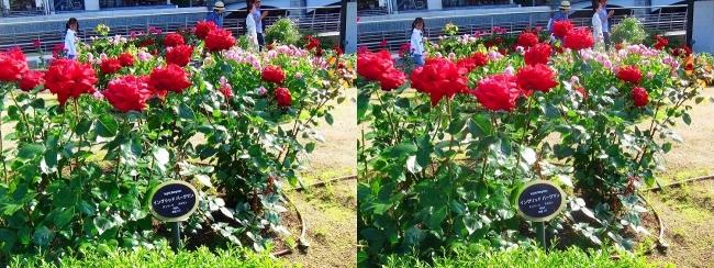 中之島公園 バラ園 赤色④(交差法)