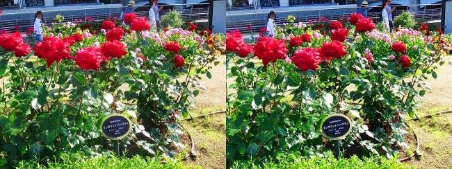 中之島公園 バラ園 赤色④(平行法)