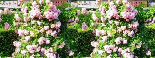 中之島公園 バラ園 桜色④(平行法)