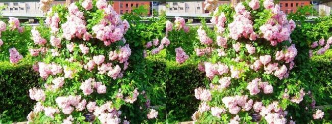 中之島公園 バラ園 桜色④(交差法)