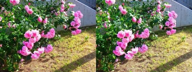中之島公園 バラ園 桃色③(平行法)