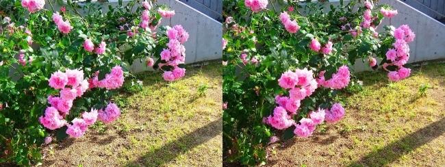 中之島公園 バラ園 桃色③(交差法)