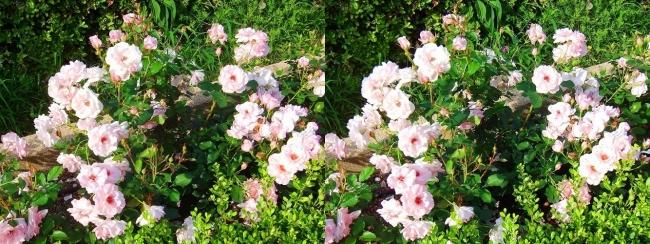 中之島公園 バラ園 桜色③(平行法)
