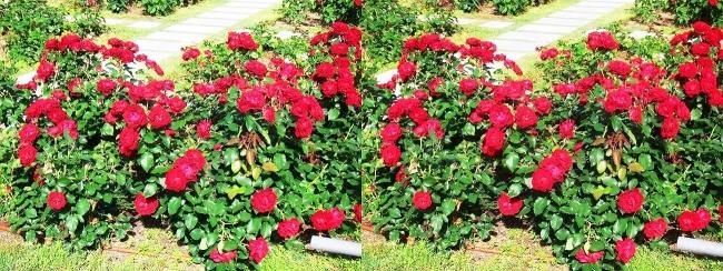 中之島公園 バラ園 赤色③(交差法)