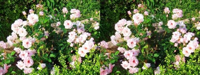 中之島公園 バラ園 桜色③(交差法)