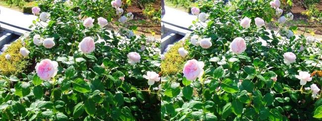 中之島公園 バラ園 桜色②(平行法)